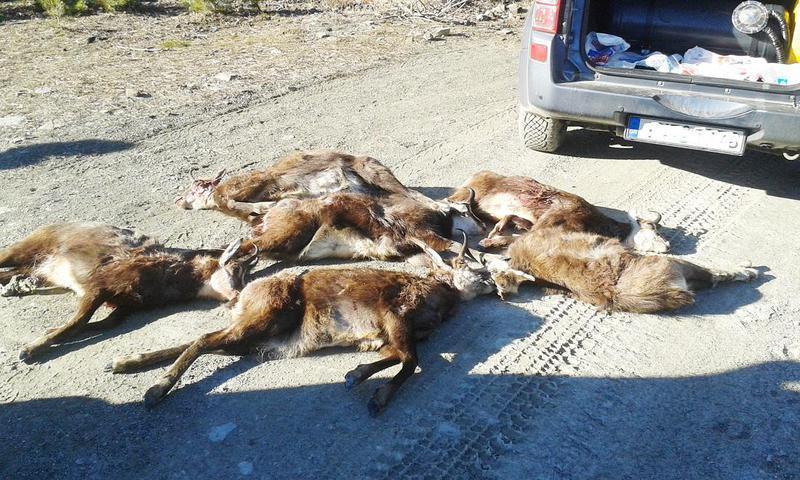 Ποινές φυλάκισης για τη θανάτωση των έξι αγριόγιδων